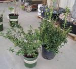 2 (qty.) Berri-Magic Kids' Holly Combination  - Premium Landscaping Plant by Monrovia