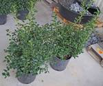 2 (qty.) China Twins Holly  - Premium Landscaping Plant by Monrovia