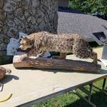 Bob Cat Mount on Log
