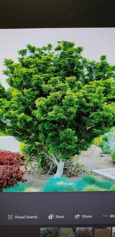 Lions Head Japnese maple 15 gallon pot