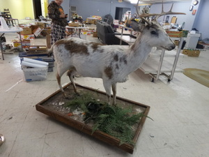 Beautiful amazing Piebald whitetail deer full body mount/ taxidermy- Very RARE!